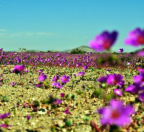 Life in the Chilean Flowering Desert