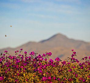 Flowers Bloom in Atacama Desert