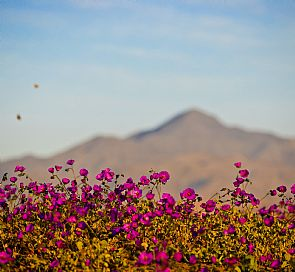 What is the best way to get to know the flowering desert?