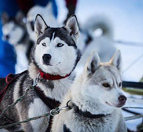 Winter Adventures: All about Husky sled dogs in the south of Chile