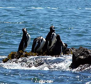 Tour to the Puñihuil penguins Colonies - departures from Puerto Varas