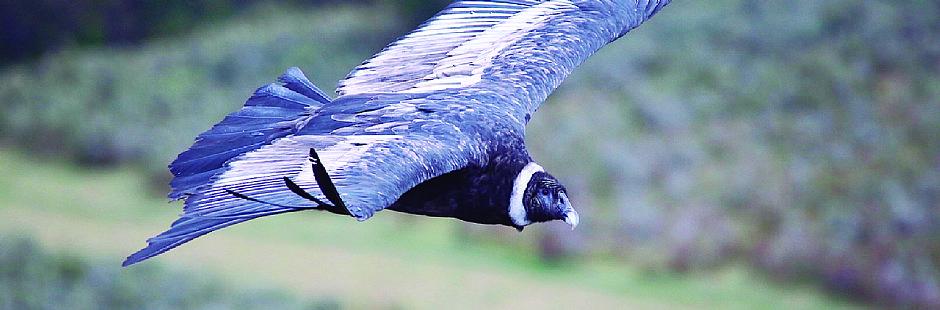 Tour de avistamiento de cóndores en la Patagonia