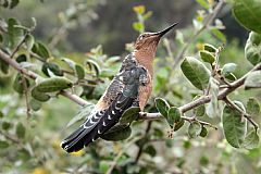giant hummingbird in chile